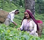 180px-Darjeeling_Tea_Garden_worker (1)